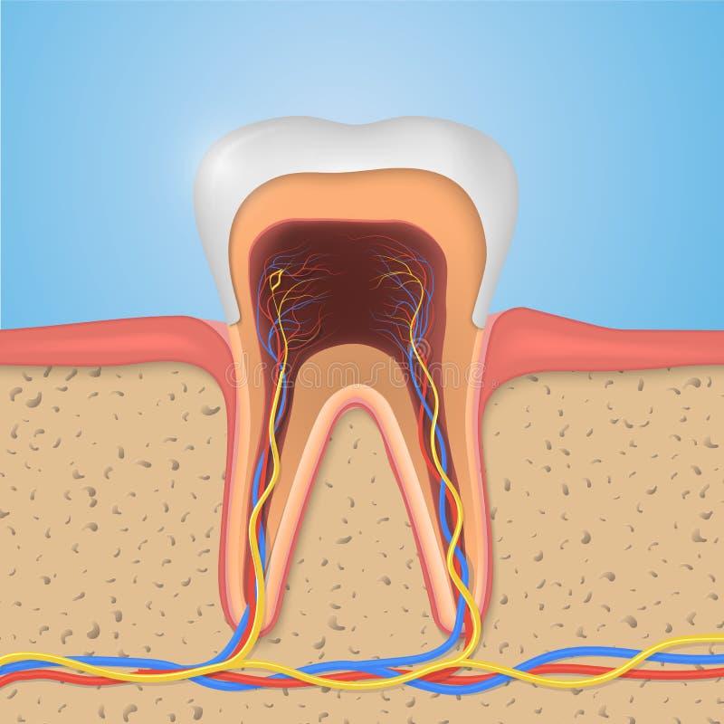 Wektorowa ząb struktura Przekrój Poprzeczny anatomia z wszystkie częściami ilustracji