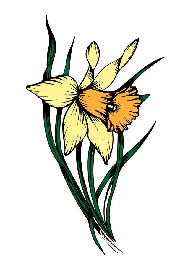 Wektorowego Żółtego narcyza kwiecisty botaniczny kwiat r?wnie? zwr?ci? corel ilustracji wektora ilustracji
