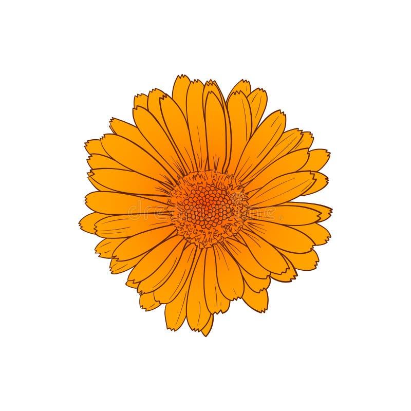 Wektorowego Calendula kwiatu Pomarańczowy nakreślenie, konturu rysunek, Odizolowywająca ręka Rysująca ilustracja royalty ilustracja