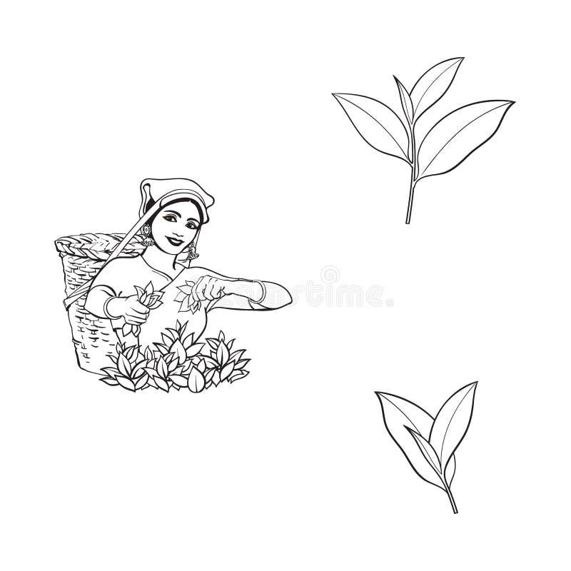 Wektorowego nakreślenia lokalna kobieta, herbaciani liście ustawiający ilustracji