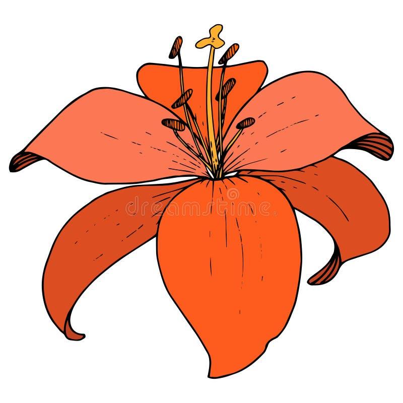 Wektorowej Czerwonej lelui kwiecisty botaniczny kwiat Graweruj?ca atrament sztuka na bia?ym tle Odosobniony lilium ilustracji ele ilustracji