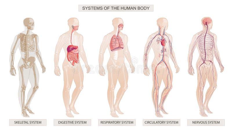 Wektorowi ilustracyjni ciało ludzkie systemy Krążeniowi, Kośćcowi, Nerwowi, Trawienni systemy, ilustracja wektor