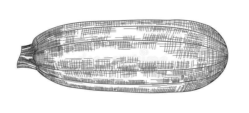 Wektorowy czarny i biały wizerunek zucchini ilustracji