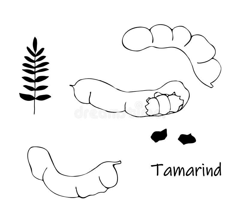 Wektorowy doodle czarna tamarynda, kranzhi, tamaryndy śliwka - azjatykcie fasole royalty ilustracja