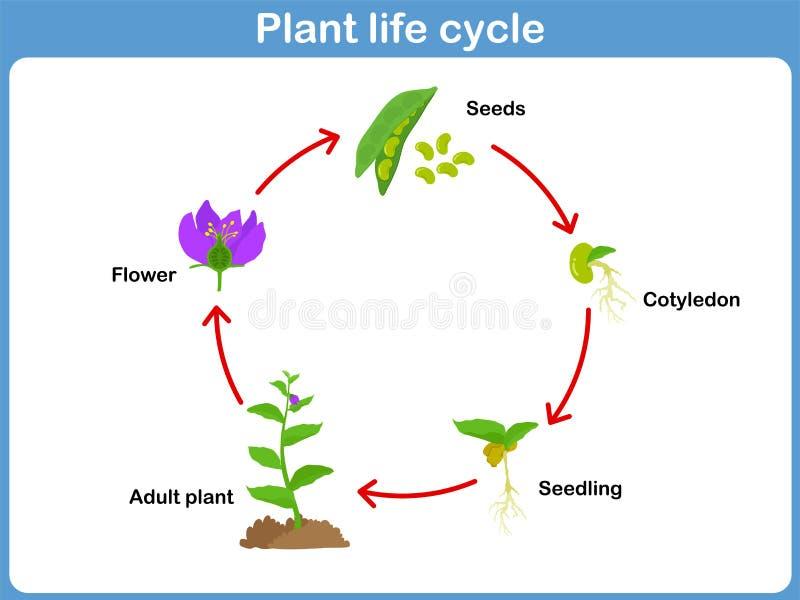 Wektorowy etap życia roślina dla dzieciaków royalty ilustracja