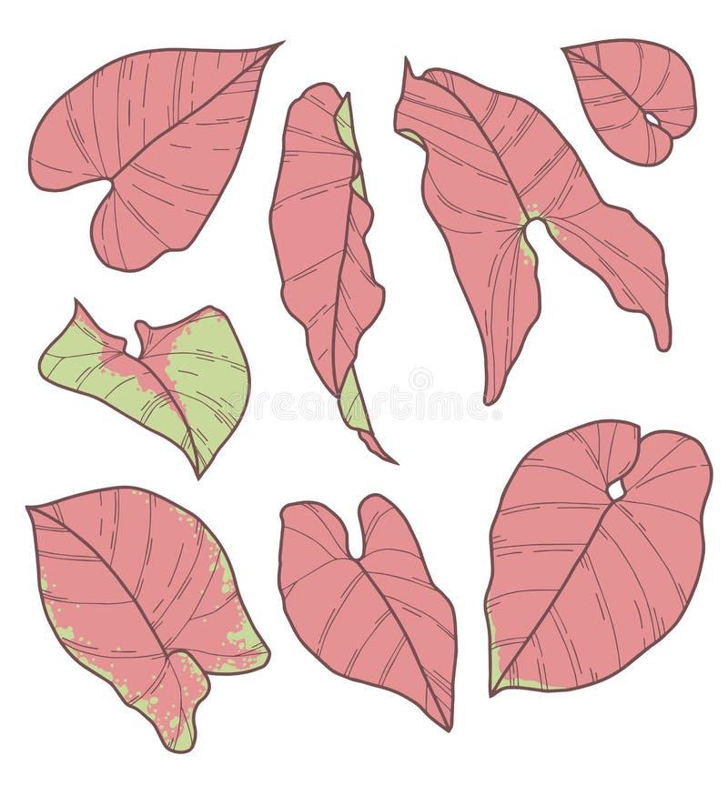 Wektorowy inkasowy ustawiający Syngonium Podophyllum menchii rośliny liścia Neonowi Robusta rysunki ilustracji