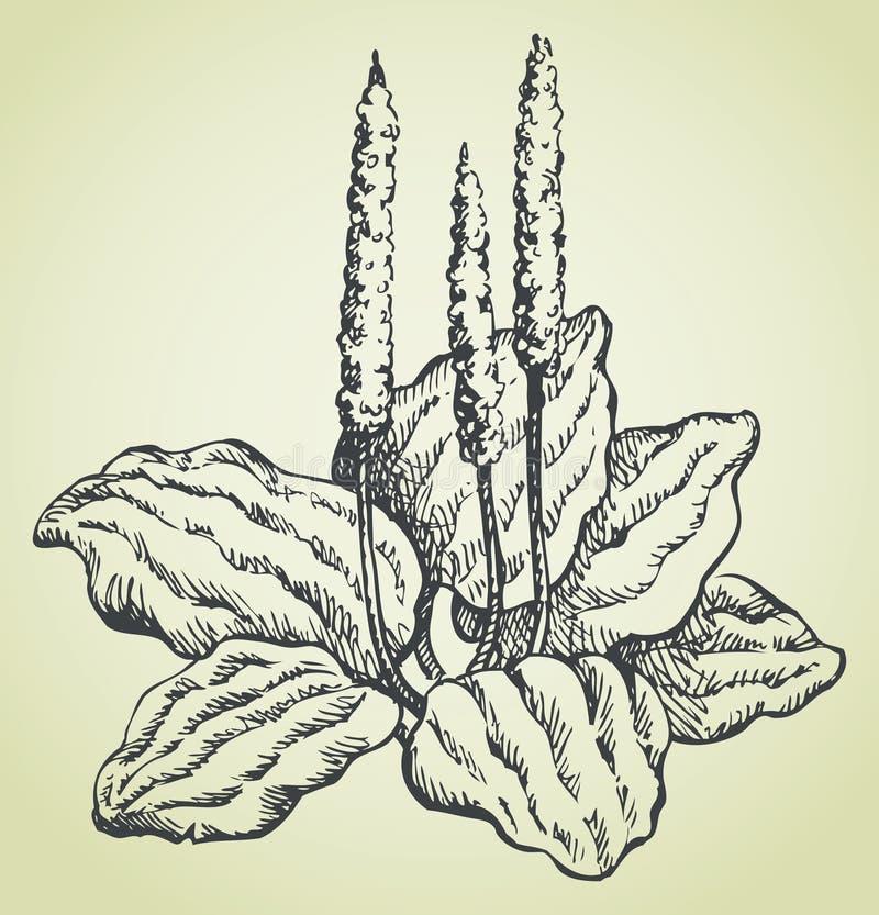 Wektorowy kreskowy rysunek banan ilustracja wektor
