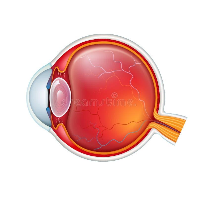 Wektorowy ludzkiego oka crossection zamknięty w górę odosobnionego na białym baclground royalty ilustracja