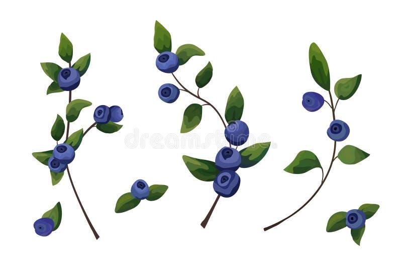 Wektorowy naturalny element ustawiający: czarnej jagody gałąź, lasowy owocowy woth royalty ilustracja