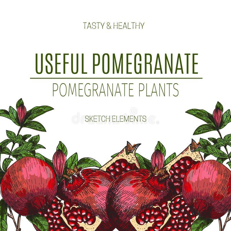 Wektorowy projekt ręka rysujący granatowiec Rocznika nakreślenia stylu ilustracja Organicznie eco jedzenie Całość, pokrajać kawał royalty ilustracja