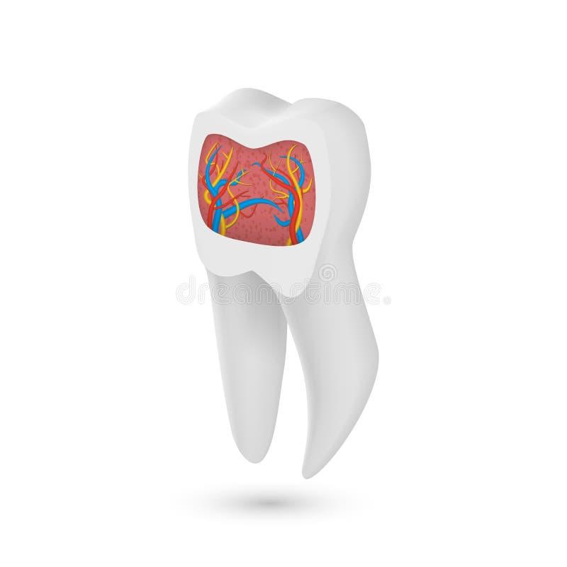Wektorowy Realistyczny ząb 3D zęby z Wewnętrzną częścią Fladrują szablon ilustracja wektor
