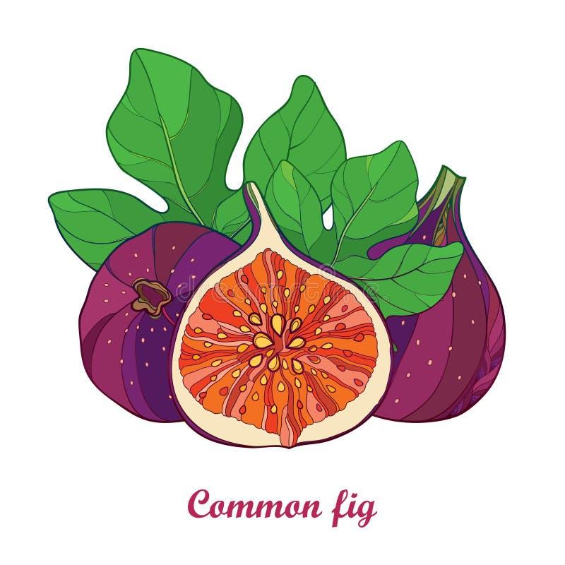 Wektorowy skład z kontur Pospolitą figą Carica lub Ficus Dojrzały purpurowy owoc, plasterka i zieleni liść odizolowywający na bia ilustracja wektor