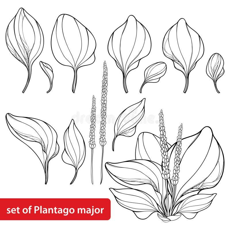 Wektorowy ustawiający konturu Plantago ważny, banan, wiązka, liść lub ziarno w czerni odizolowywającym na białym tle, Leczniczy z royalty ilustracja