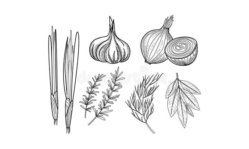 Wektorowy ustawiający kulinarni ziele i pikantność Świeża cebula, czosnek, zatoka liście, rozmaryny i koper w nakreśleniu, projek ilustracja wektor