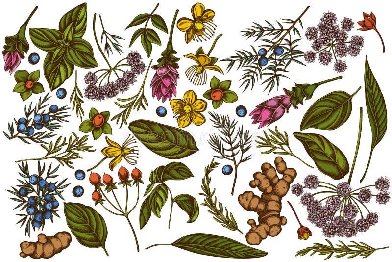 Wektorowy ustawiający ręka rysująca barwił arcydzięgiel, basil, jałowiec, hypericum, rozmaryn, turmeric royalty ilustracja