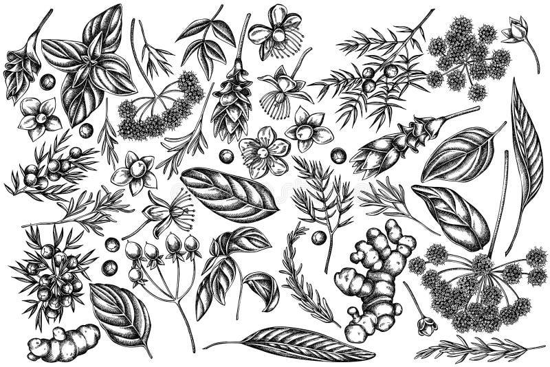 Wektorowy ustawiający ręka rysujący czarny i biały arcydzięgiel, basil, jałowiec, hypericum, rozmaryn, turmeric ilustracji