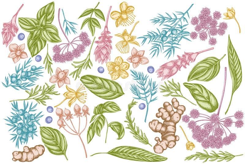 Wektorowy ustawiający ręka rysujący pastelowy arcydzięgiel, basil, jałowiec, hypericum, rozmaryn, turmeric ilustracja wektor