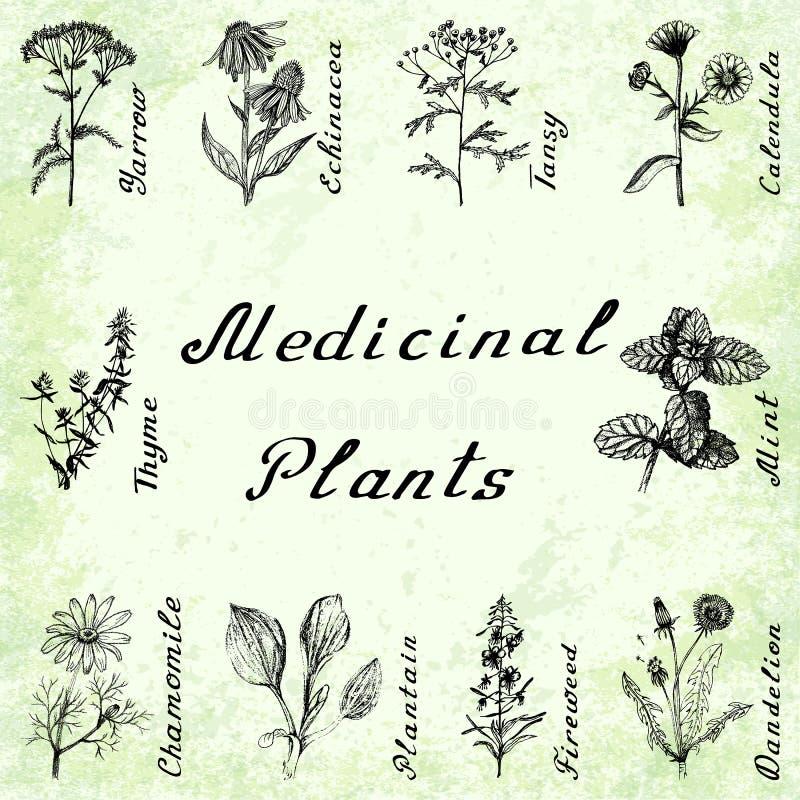 Wektorowy ustawiający 10 rośliien - krwawnik, echinacea, tansy, calendula, macierzanka, mennica, chamomile, banan, fireweeed, dan ilustracji