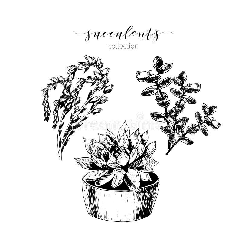 Wektorowy ustawiający succculents Wręcza patroszoną botaniczną sztukę odizolowywającą na białym tle Abstrakcjonistyczny kwiecisty royalty ilustracja