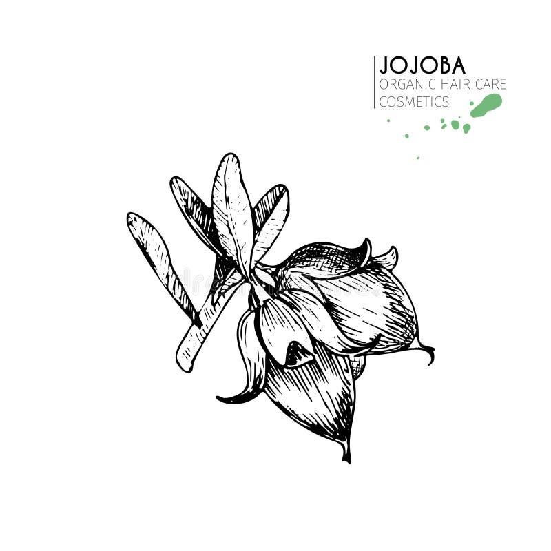 Wektorowy ustawiający włosianej opieki składniki Organicznie ręka rysujący elementy Jojoba gałąź dokrętki ilustracja wektor