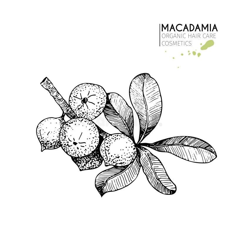 Wektorowy ustawiający włosianej opieki składniki Organicznie ręka rysujący elementy Macadamia gałąź royalty ilustracja
