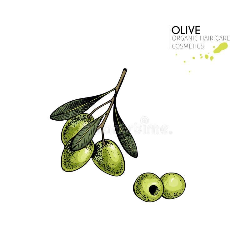 Wektorowy ustawiający włosianej opieki składniki Organicznie ręka rysujący elementy Rolni targowi warzywa Barwiona zielona gałązk royalty ilustracja
