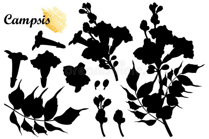 Wektorowy ustawiający z sylwetką, pączkiem i liśćmi w czerni odizolowywającym na białym tle Campsis radicans lub tubowego winogra royalty ilustracja