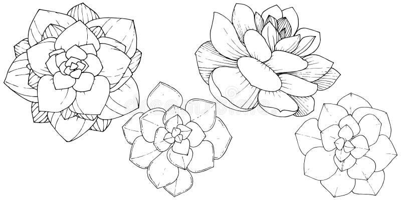 Wektorowych sukulentów kwiecisty botaniczny kwiat Czarny i biały grawerująca atrament sztuka Odosobniony sukulent ilustracji elem royalty ilustracja