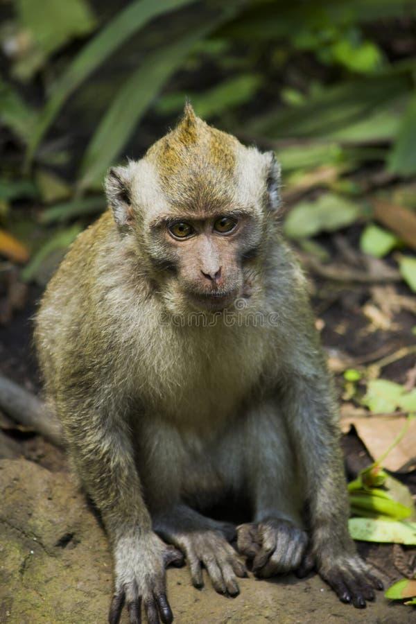 Welches ` s herauf Affen lizenzfreies stockbild