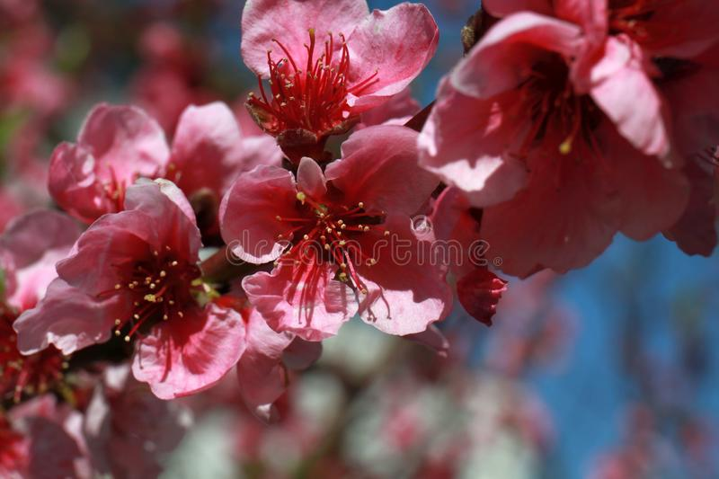 Welcome spring ! - Cherry blossom - twig royalty free stock images