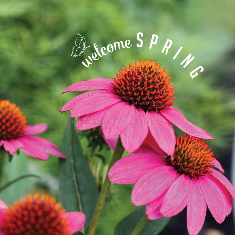 Welcome spring coneflowers with text and doodles royalty free stock photo. For greeting card, ad, promotion, poster. Perfect for flier, blog, article, social royalty free stock image