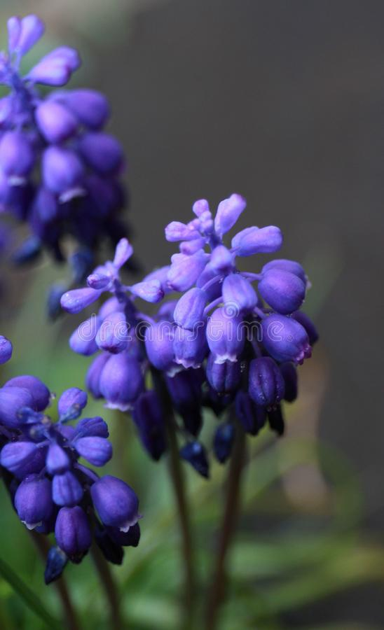 Welcome spring! Muscari neglectum Ten. Rock plants in April. Flowers close-up. royalty free stock images