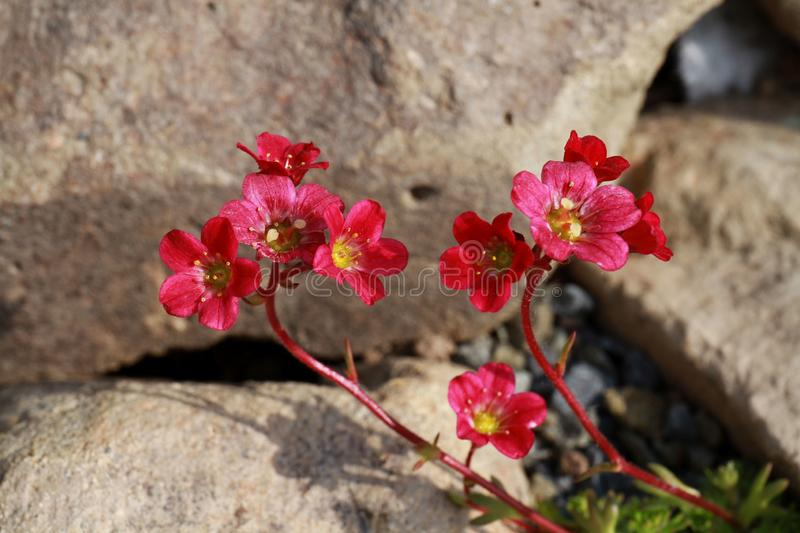 Welcome spring! Red saxifrage. Flowers close-up. stock image