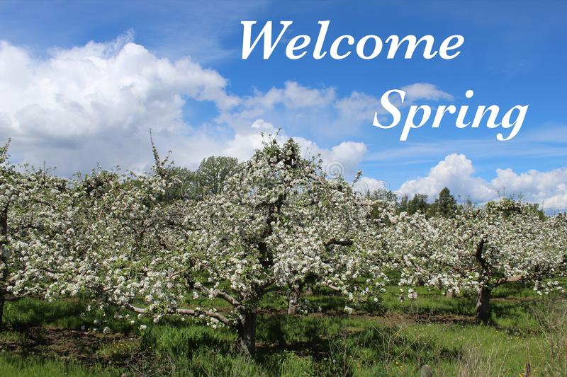 Welcome Spring text on apple orchard with blooms. stock photo