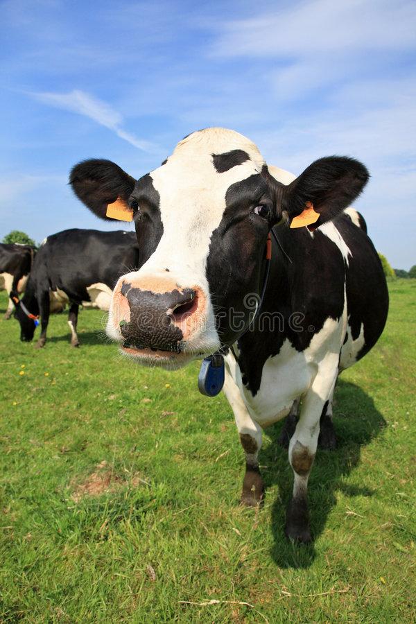 Download Welcoming cow stock image. Image of livestock, nature - 5417299