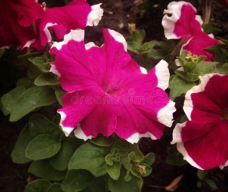 welke schoonheid in de tuin groeide stock afbeeldingen