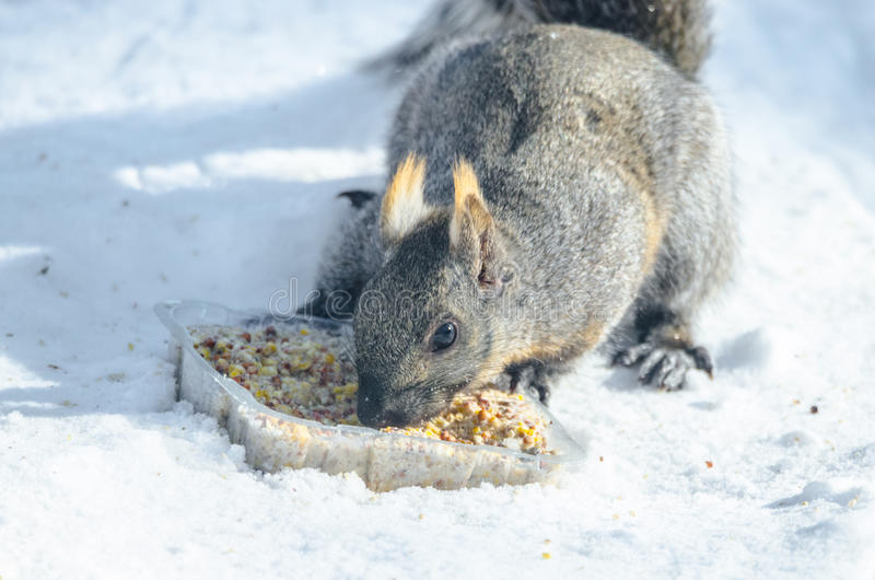 Well fed grey squirrel with slight orangy patched colored fur, investigating an offering of rich a suet seed puck. Grey squirrel in a Eastern winter Ontario royalty free stock photo