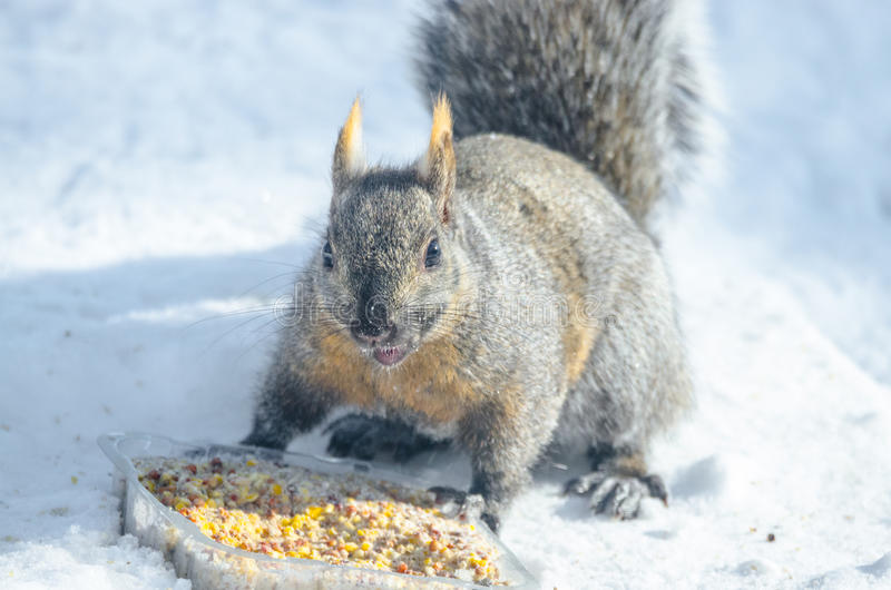 Well fed grey squirrel with slight orangy patched colored fur, investigating an offering of rich a suet seed puck. Grey squirrel in a Eastern winter Ontario royalty free stock images