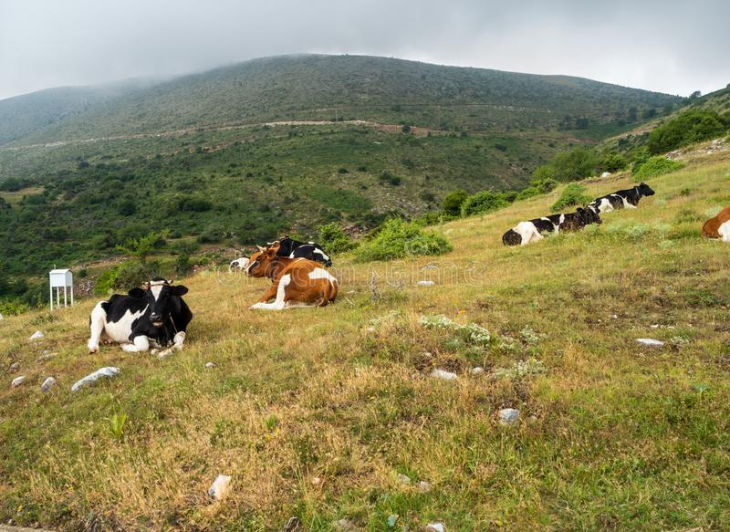 Well-fed purebred cows rest on a mountain pasture in Greece royalty free stock image