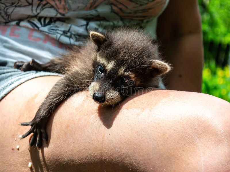 Well fed raccoon baby lays on the women`s leg and milk drop flows down the skin stock photo