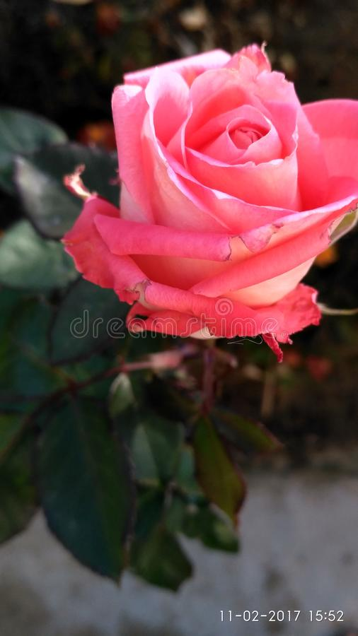 Well furnished Rose . royalty free stock photo