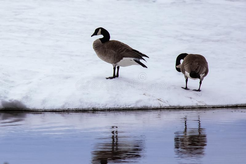 Two Geese on Lake Nipissing stock images