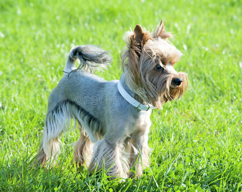 Well groomed haircut yorkshire terrier stock photos
