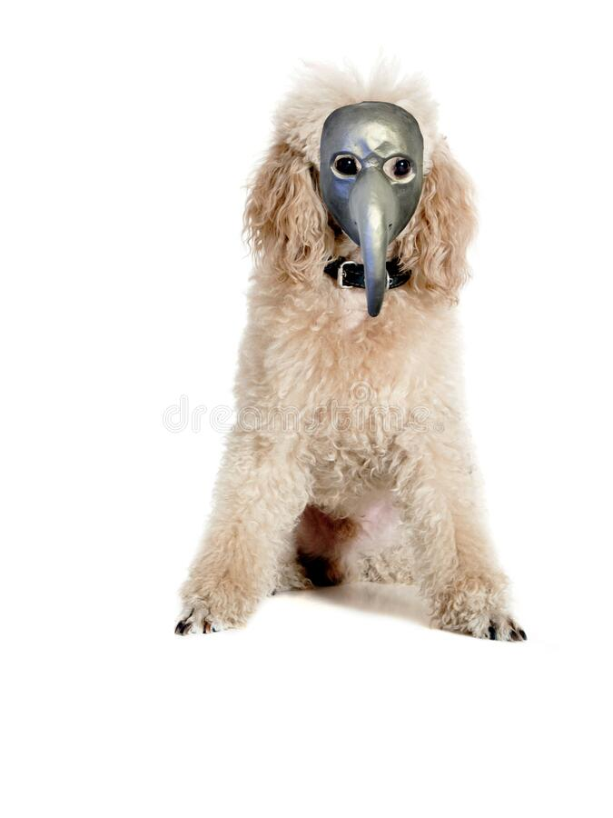 Well-groomed poodle in a plague mask stock images