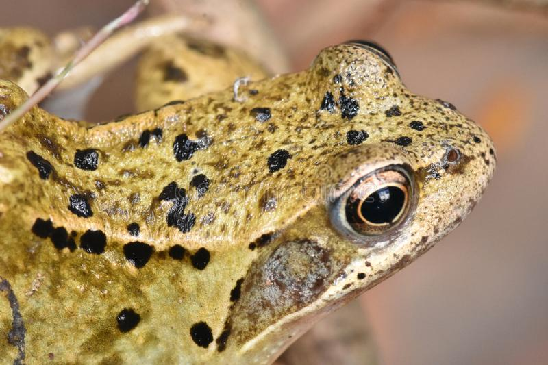 Well Hello There! Common Frog UK royalty free stock image
