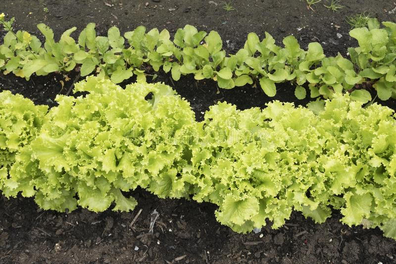Well-tended vegetable garden with rows of lettuce and radishes royalty free stock image