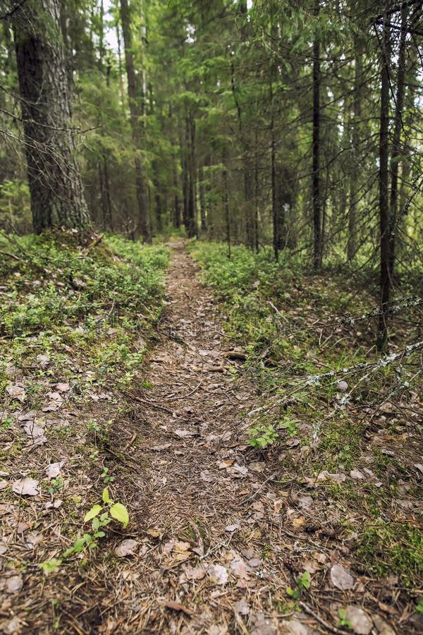 Well-trodden path goes through a pine and fir forest. Well-trodden path goes through a pine and fir forest, summer day royalty free stock photography