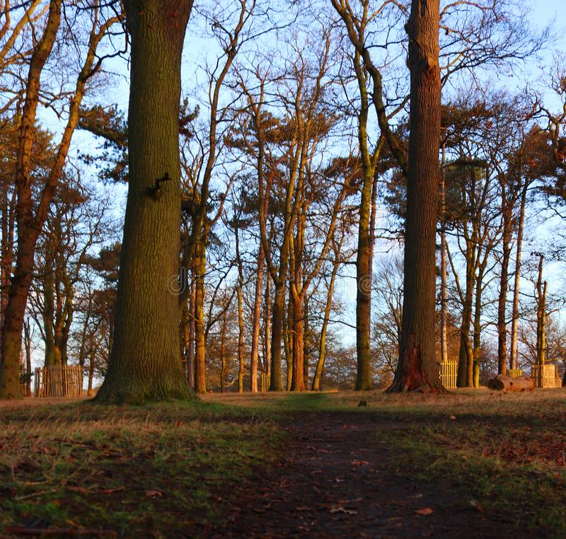 Trees basking in the morning light. Well used path going throw trees in the morning light golden colour royalty free stock photo