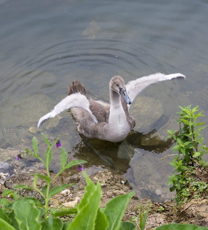 Wellenartig bewegende Flügel des erwachsenen grauen Cygnet auf dem See lizenzfreie stockfotos