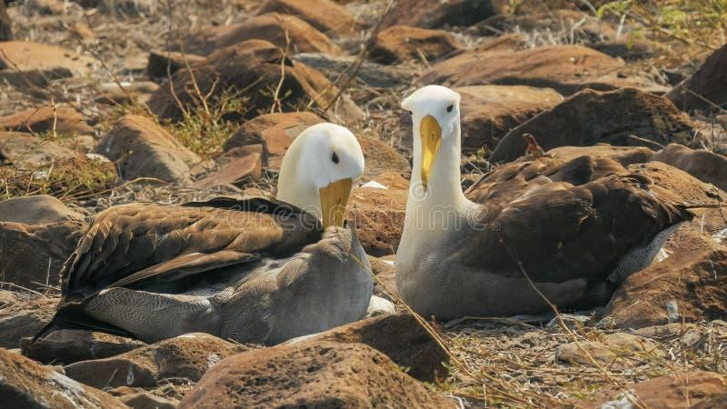 Wellenartig bewegte Albatrospaare, die ihre Federn auf isla espanola in den Galapagos putzen stockbilder